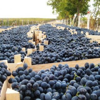 Молдавский виноград